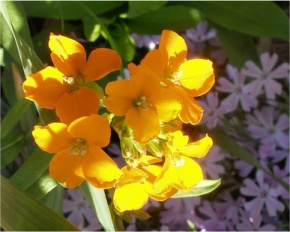 yellow wallflower
